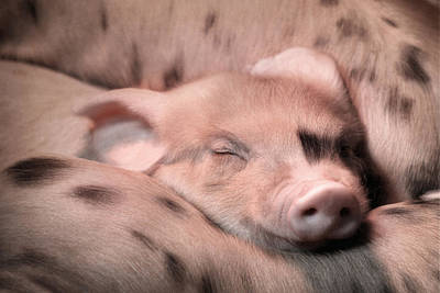 Sleepy Baby Pig Poster by Lori Deiter