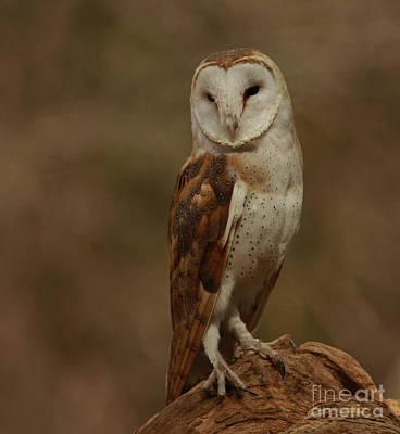 Sleepy Morning Barn Owl Poster
