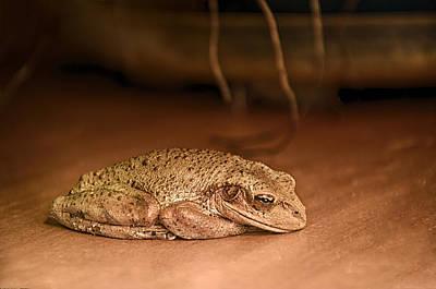 Sleepy Cuban Tree Frog Poster