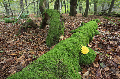Slime Mold With Moss In Beech Forest Poster