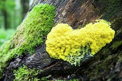 Slime Mould On A Tree Stump Poster