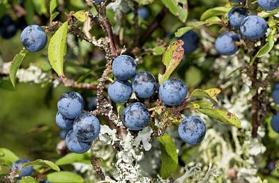 Sloe Berries Poster by Bob Gibbons