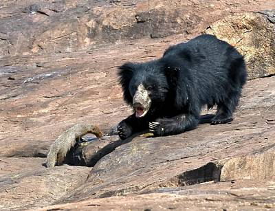 Sloth Bear And Mongoose Poster by K Jayaram