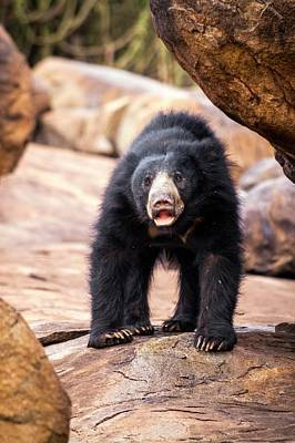 Sloth Bear Poster by Paul Williams