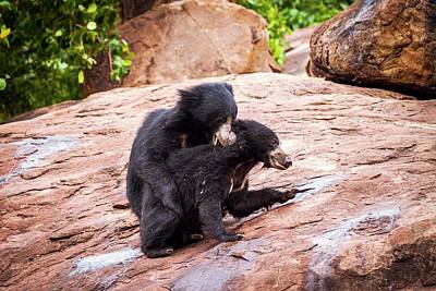 Sloth Bears Play-fighting Poster by Paul Williams