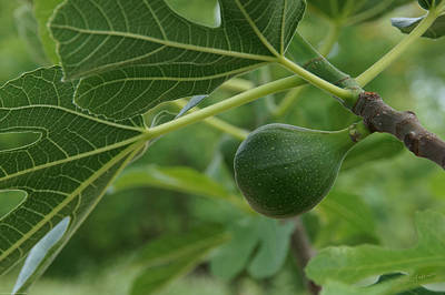 Small Fig On A Small Fig Tree Poster by Mick Anderson