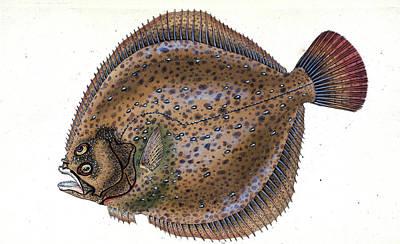 Small-headed Dab, Pleuronectes Microcephalus Poster