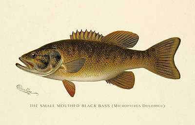 Small Mouthed Black Bass Poster by Gary Grayson