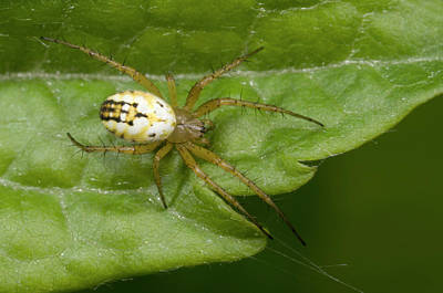 Small Orb-web Spider Poster
