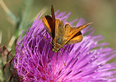 Poster featuring the photograph Small Skipper - Thymelicus Sylvestris by Jivko Nakev