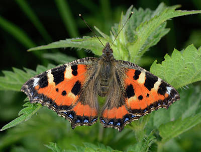 Small Tortoiseshell Butterfly Poster by Nigel Downer