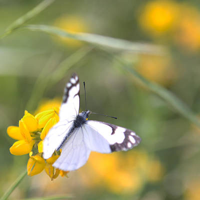 Poster featuring the photograph Small White Butterfly On Yellow Flower by Belinda Greb