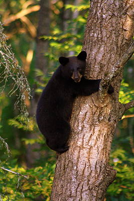 Smile Bear Cub Poster by Deshagen Photography