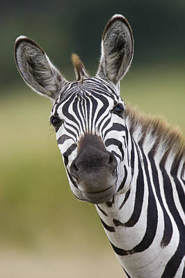 Poster featuring the photograph Smiling Burchells Zebra by Suzi Eszterhas