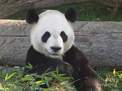 Smiling Giant Panda Poster by Lingfai Leung