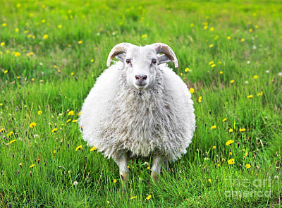 Smiling Sheep Poster by JR Photography