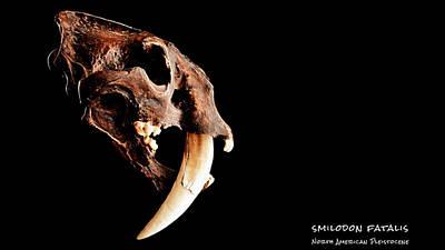 Smilodon Fatalis Skull 3 Poster by Weston Westmoreland
