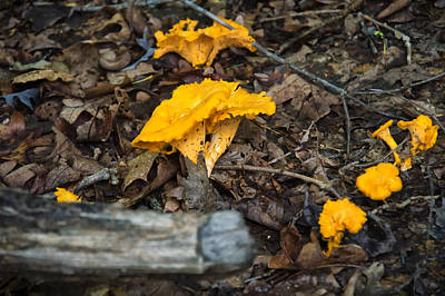 Smooth Chanterelle Poster by Chris Flees