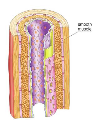 Smooth Muscle In Artery Poster