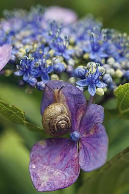Snail On Hydrangea Flower Japan Poster