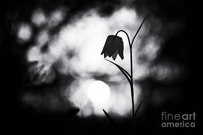 Snakes Head Fritillary Monochrome Poster by Tim Gainey