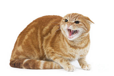 Snarling Cat Poster