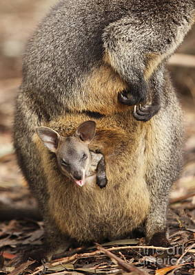 Sneezing Wallaby Poster