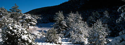 Snow Covered Pine And Fir Trees Poster by Panoramic Images