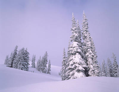 Snow Covered Sub-alpine Fir Trees Poster by Panoramic Images