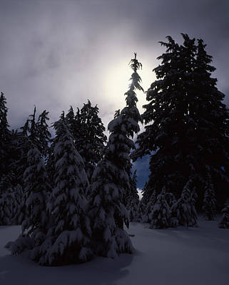 Snow Covered Western Hemlock And Fir Poster