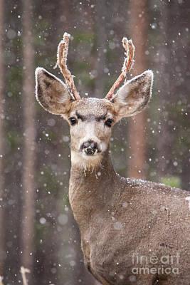 Snow Deer 1 Poster by John Wadleigh