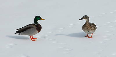 Poster featuring the photograph Snow Ducks by Mim White