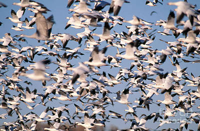 Snow Geese And Sandhill Cranes Poster by Art Wolfe