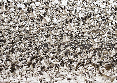 Snow Geese Blast Off Poster by Bill Swindaman