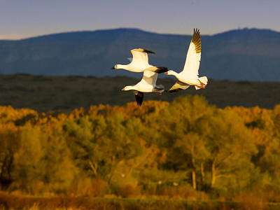 Snow Geese Flying In Fall Poster by Jean Noren