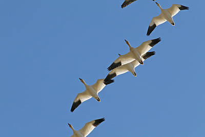 Snow Geese Flying South For The Winter Poster by Peggy Collins