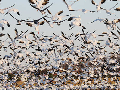 Snow Geese Takeoff From Farmers Corn Field. Poster