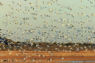 Snow Geese Taking Poster