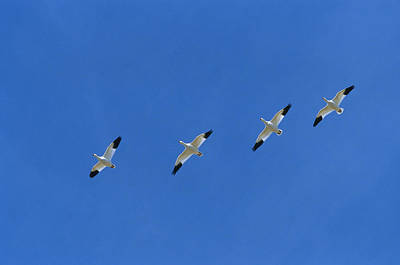 Snow Goose Flock In Formation Poster by Konrad Wothe