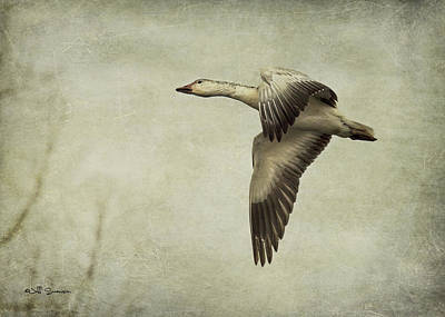Snow Goose In Flight Poster