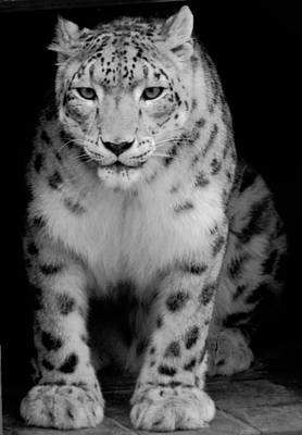 Snow Leopard Black And White Poster