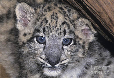 Poster featuring the photograph Snow Leopard Cub Endangered by Dave Welling