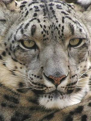 Poster featuring the photograph Snow Leopard by Diane Alexander