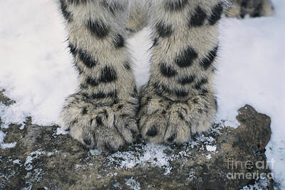 Snow Leopard Feet Poster by Thomas and Pat Leeson