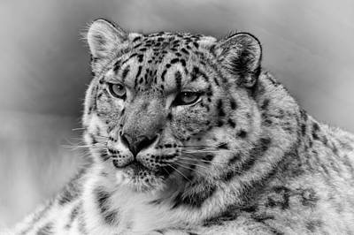 Poster featuring the photograph Snow Leopard Portrait by Chris Boulton