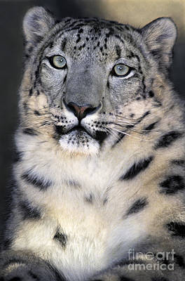 Poster featuring the photograph Snow Leopard Portrait Endangered Species Wildlife Rescue by Dave Welling