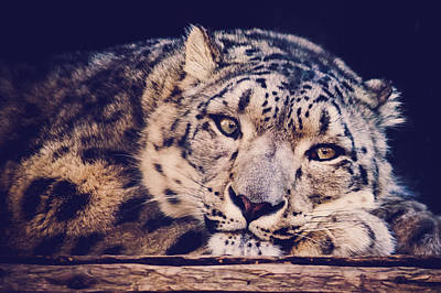 Snow Leopard Poster by Sara Frank