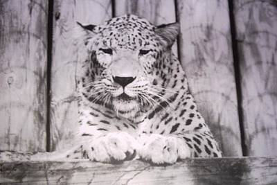 White Snow Leopard Chillin Poster by Belinda Lee