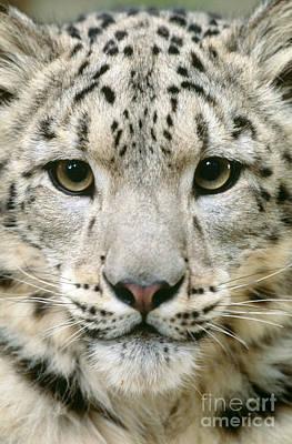 Snow Leopard Uncia Uncia Poster