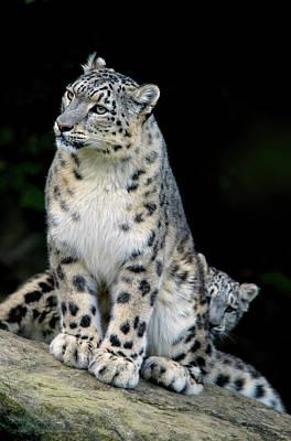 Snow Leopard, Uncia Uncia, Panthera Poster by Andres Morya Hinojosa